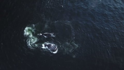 Pod of Whales feeding together in the ocean seen from aerial view
