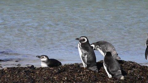 Magellanic Penguins on the beach in Falkland Island (Malvinas)
