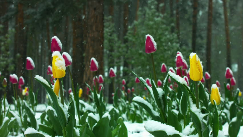 Yellow and red tulips under snow in the forest, snow is falling | Shutterstock HD Video #1009496567
