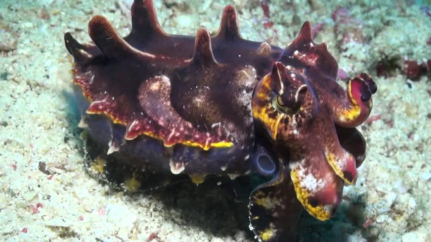 Flamboyant Cuttlefish (Metasepia pfefferi) - Close Up - Philippines