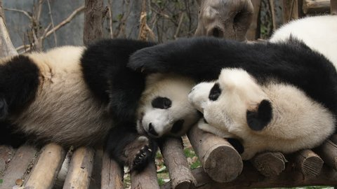 Two Lovely Young Giant Panda Bear Playing together in Chengdu Research Base of Giant Panda Breeding