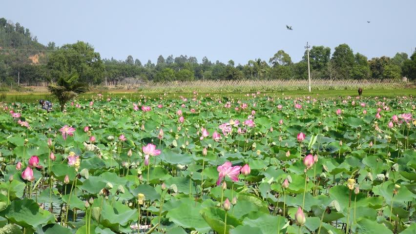 Pink lotus on the garden   Shutterstock HD Video #1009567607