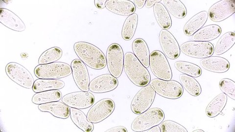 Paramecium microbiology under the microscope. real microcope footage.