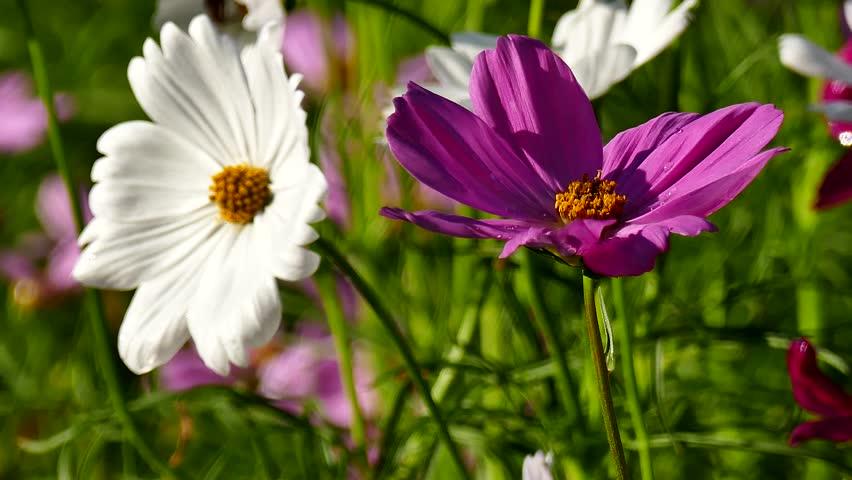 Beautiful Pink Cosmos Flower Blooming Stock Footage Video 100