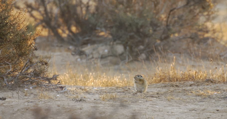 Fat sand Rat in the Negev desert Israel