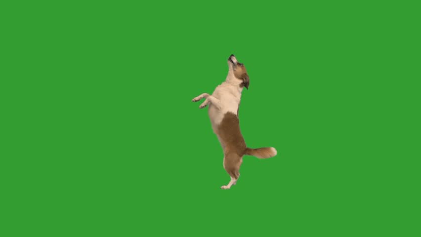 doggy dancing on a green screen #1009774817