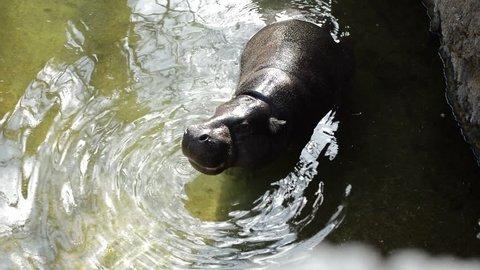 Pygmy Hippopotamus eating in a river - Choeropsis liberiensis