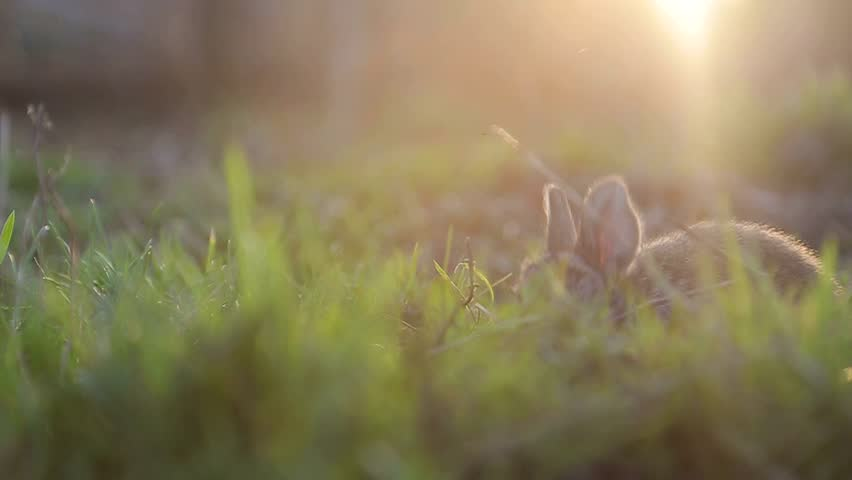 little rabbit eats the grass on a Sunny day, banny grey #1009800047