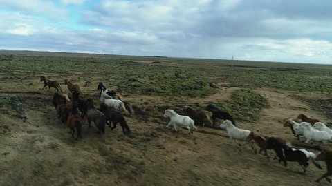 Aerial Slow Motion: Wild horses running trough mossy lava field