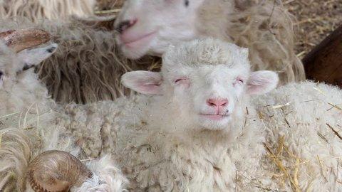 Sheep herd lying on dry grass in sheepfold. Sheeps eating hay in the farm. Wallachian sheep.