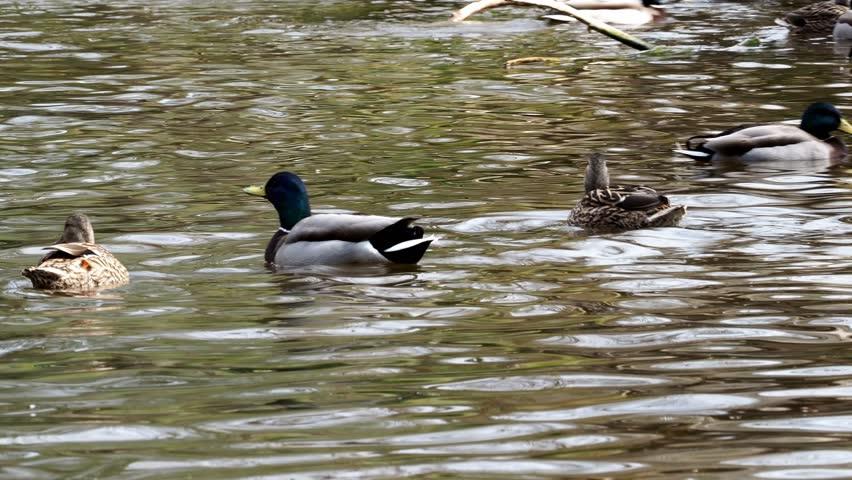 Ducks swim in a pond background   Shutterstock HD Video #1009841597
