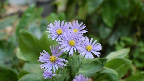 Purple  Marguerite flower ( Argyranthemum frutescens ) and green blur background.