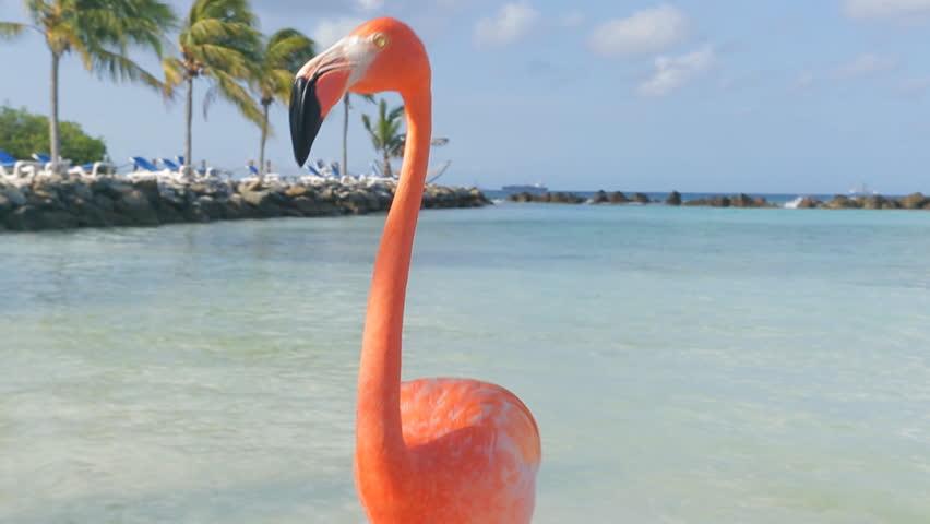 Flamingos on the beach. Aruba island