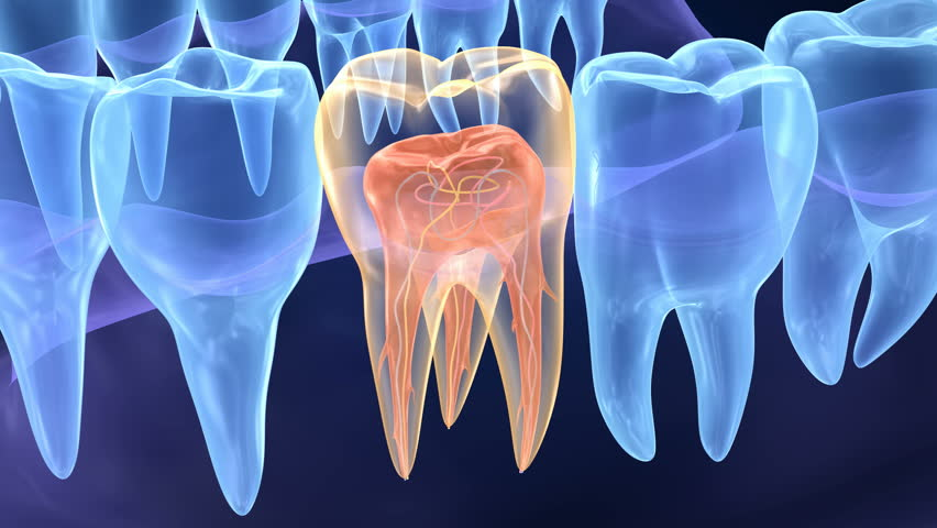 molar tooth structure - 852×480