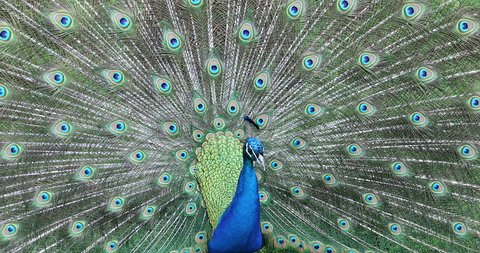 Courting Display of a Male Indian Peafowl or Blue Peafowl (Pavo Cristatus)  - Close Up Portrait  - DCi 4K Resolution