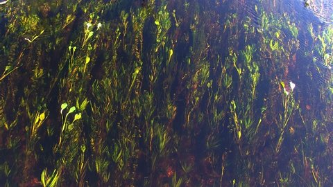 Aquatic plants in river. Image in the Pantanal Biome. Mato Grosso do Sul state, Central-Western - Brazil.