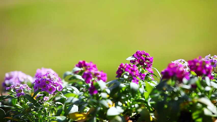Header of Alyssum