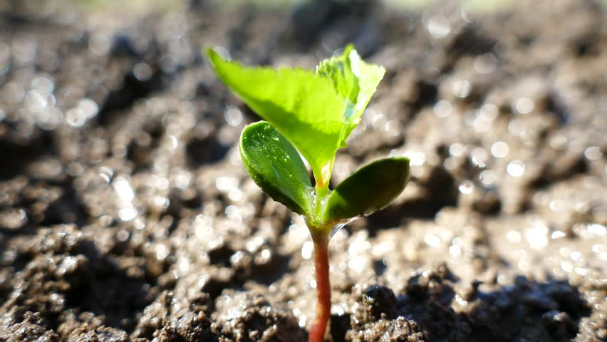 A young tree from the bones germinates. Irrigation and watering the sprout. The sprouted green plant stretches upward. #1010041817