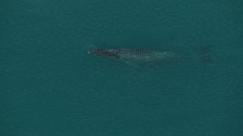 Aerial view of ocean marine mammal Humpback whales Megaptera novaeangliae Northern Pacific waters Alaska USA