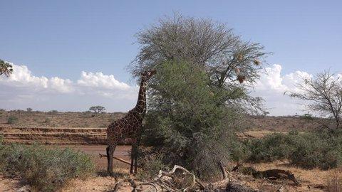 Giraffe eats from acacia tree, medium wide