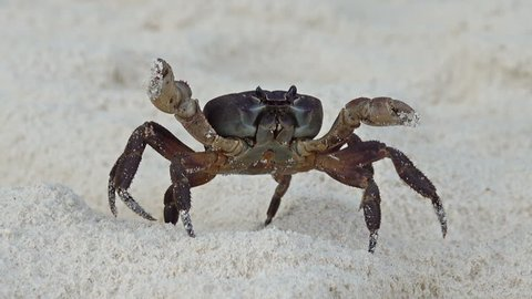 Crab with raised claws walking on white sand beach closeup