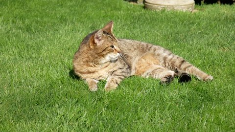 Cat lying on grass rolls over to face away from camera and then back again.