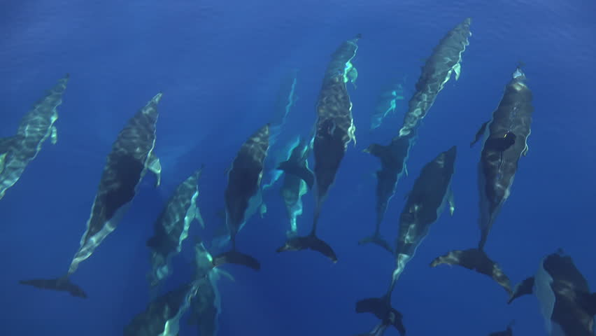 Big pod of dolphins swimming in the wave of a boat, calm blue ocean