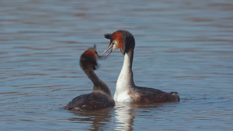great crested grebe bird animal performs elaborate mating display at lake slow motion ambient sound