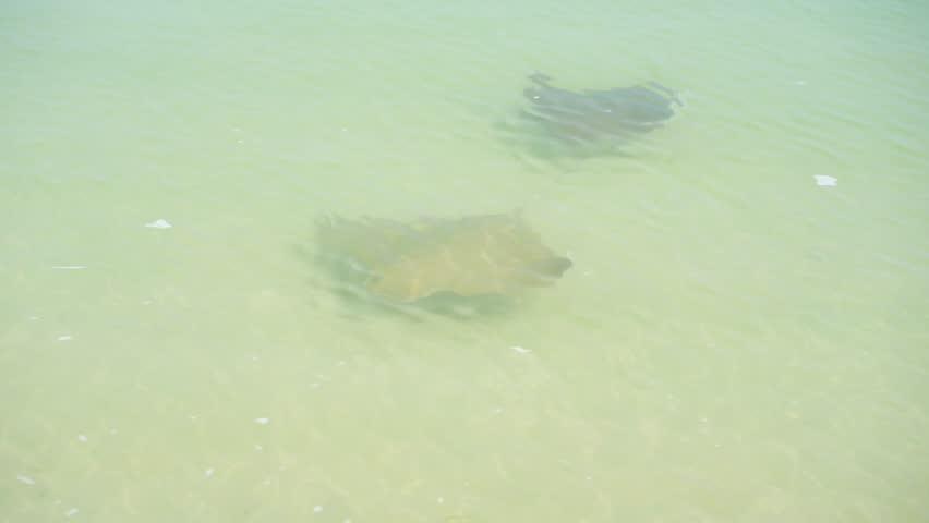 Manta rays swim near the shore | Shutterstock HD Video #1010114897