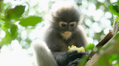 The dusky leaf monkey, spectacled langur, or spectacled leaf monkey is a species of primate in the family Cercopithecidae., Thailand.