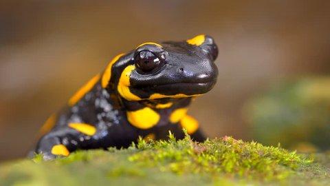 Fire salamander (Salamandra salamandra) portrait