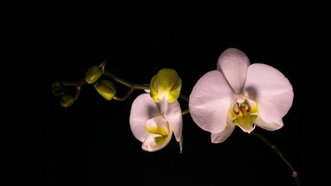 Timelapse of opening white orchid on black background. 4K Time-lapse