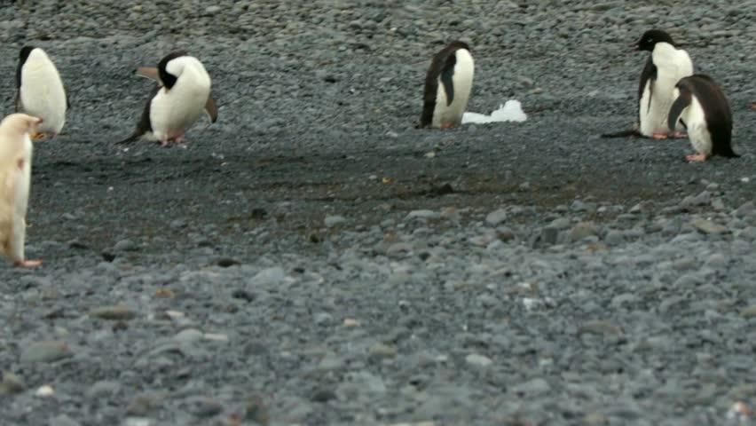 leucistic adelie penguin walking on the beach, brown bluff, antarctic peninsula, antarctica