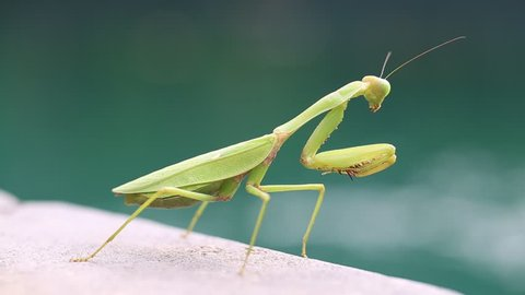 Praying mantis, mantis religiosa , close up. Island Bali, Indonesia