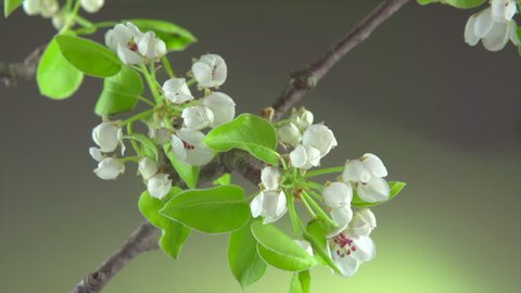 Beautiful Spring Pear tree flowers blossom timelapse, close up. Time lapse of blossoming pear closeup. Opening flower, blooming orchard tree, gardening. 4K UHD video 3840X2160