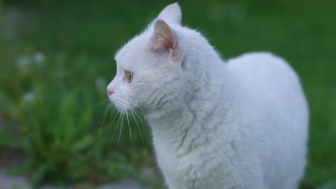 White Cat in Green Meadow