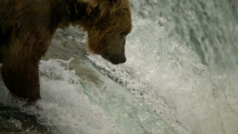 Brown grizzly bear Ursus arctos fishing for salmon in river freshwater slow motion Katmai National Park Reserve Alaska America
