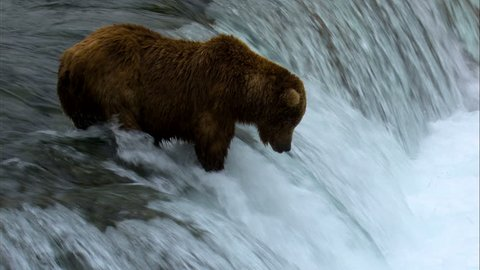 Wild brown bear river fishing at waterfall for food remote wilderness Katmai National Park and Reserve Alaska America