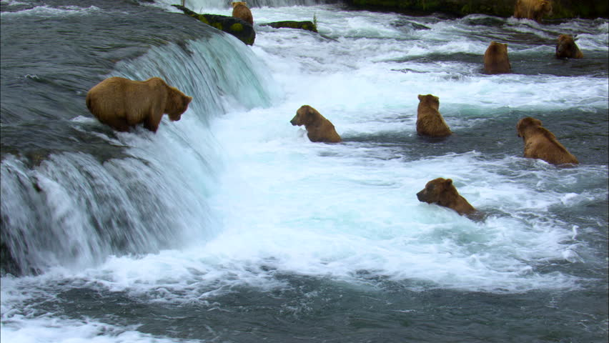 View of large brown bears trying to catch fish Brooks Falls remote wilderness Katmai National Park and Reserve Alaska USA
