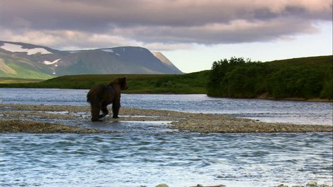 Katmai National Park and Reserve brown bear in the wilderness hunting for fish wild river Alaska America