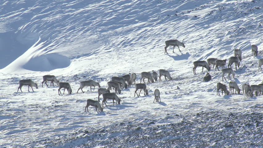 Aerial view of wild Deer herd roaming free looking for food and feeding snowy Wilderness tundra Alaska USA