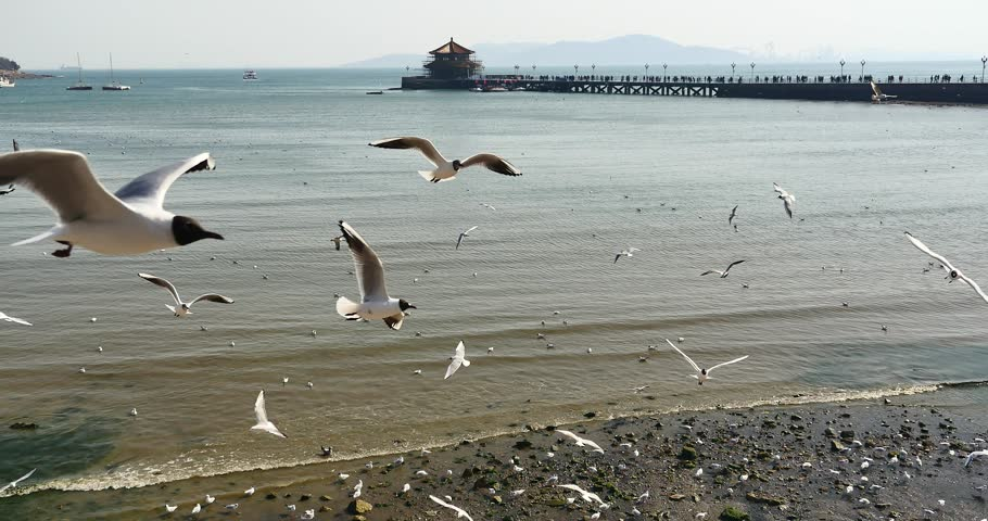 4k Flock of seagulls fly over ocean and beach in daytime, Perched on the beach, city background, Qingdao Trestle Bridge china.