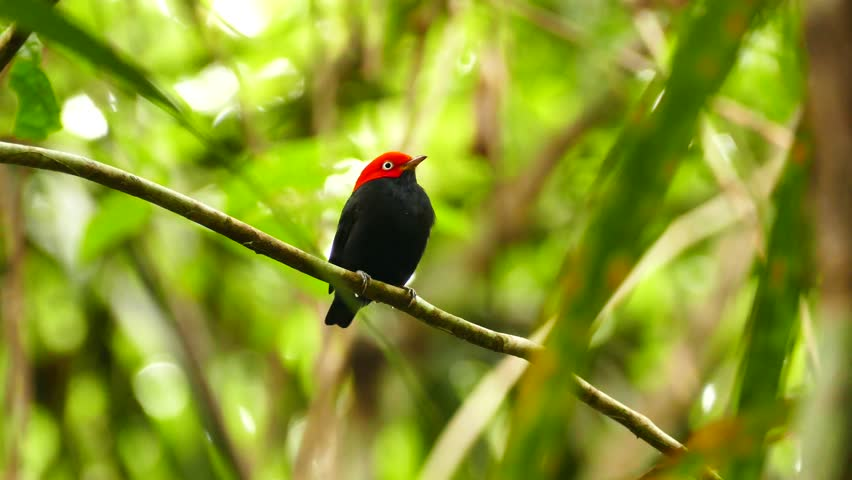 Red-Capped Manakin Ceratopipra Mentalis turning head left and right