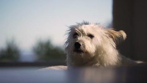 Small ,white scruffy dog looks at camera