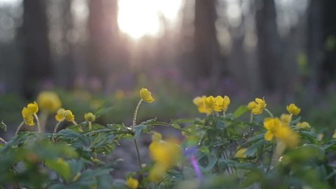 First blooming flowers in a spring wild forest sway in the wind. Fresh grass and flowers in spring. Blooming flowers in wild nature.