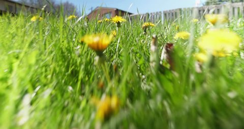 A low angle view of a mouse, squirrel, or other rodent running through the tall grass and dandelions of an unkept residential back yard.