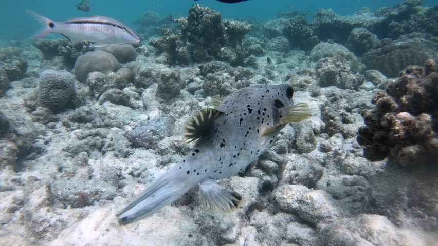 Boxfish and tropical fish swimming. Marine life, coral reef in Maldives, Indian Ocean