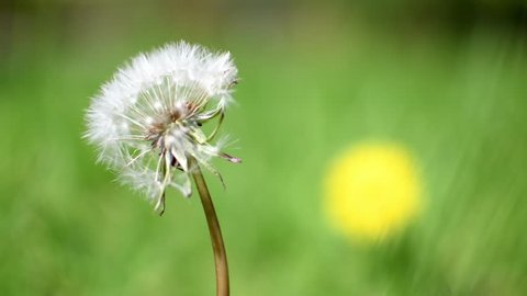 Dandelion seed head blowing the in the wind