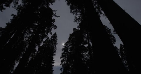 Sequoia Grove with Obscured Moon