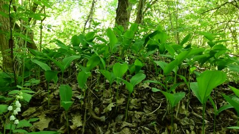 Young lilies of the valley with green leaves growing in May among trees in the floodplain forest of the Caucasus foothills